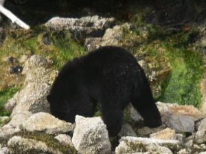 Black Bear Headless