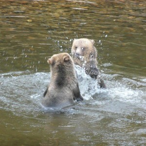 young grizzlies fighting