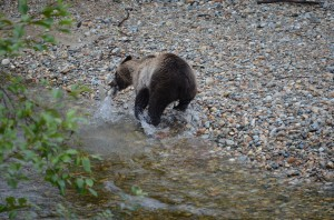 grizzly fishing