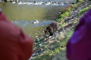 grizzy walking river bank