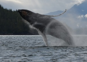 humpback breaaching