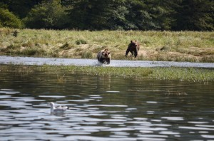 grizzly crossing river