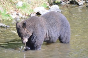 large male grizzly with salmon