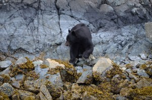 black bear an beach