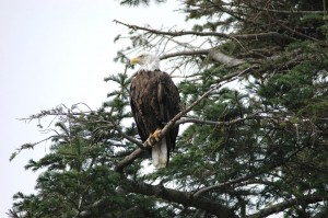 eagle waiting