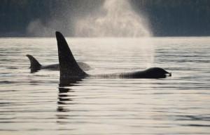 killer whale breath