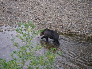 plodding grizzly