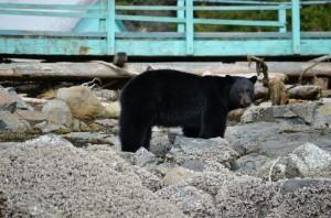 black bear at lodge