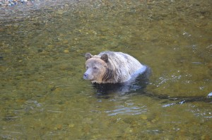 grizzly cooloing in water