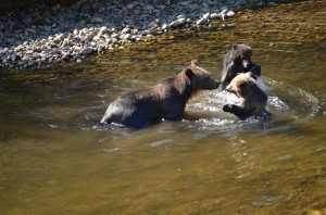 grizzly cubs play fight