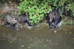 grizzlies on river