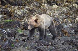 sub-adult grizzly