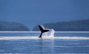 tel slapping whale