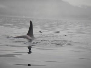 foggy orca