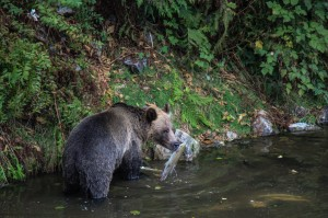 grizzly carrying salmon
