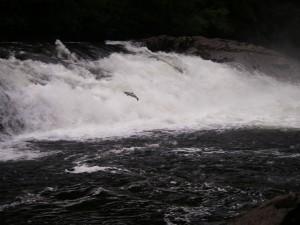 salmon jumping river falls