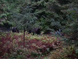grizzlies by cabin