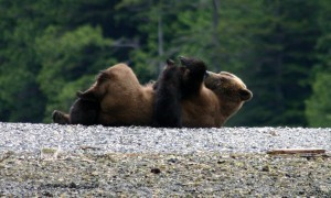 Grizzly nursing 2