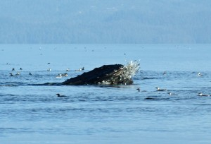 whale spraying herring