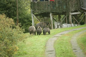 grizzlies beneath viewing stands