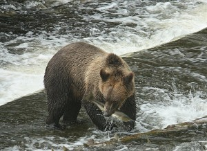 grizzly with salmon in mouth