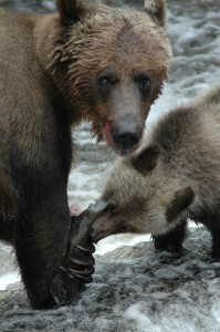 grizzly sharing with cub