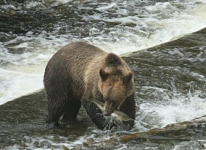 grizzly caught salmon in mouth