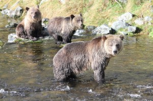 grizzly family fishing