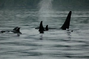 orca pods