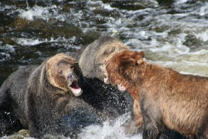 grizzly face off