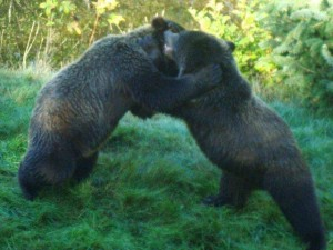grizzlies fight