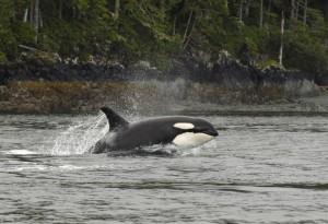 orca porposing