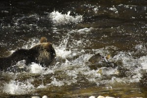 grizzly scaring salmon