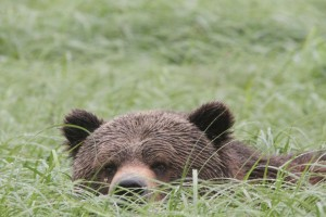 grizzly hiding