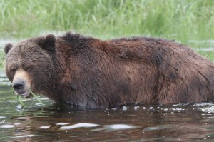 grizzly eating water grass