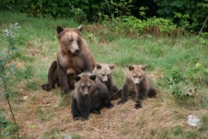 four grizzly cubs