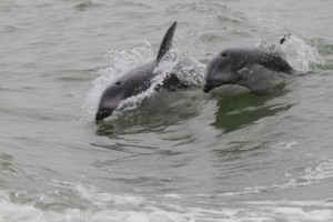 dolphins speeding