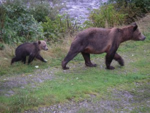 two grizzlies in step
