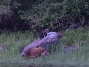 spring grizzly bear family on the beach