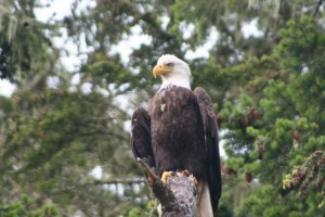 eagle posing for a phot