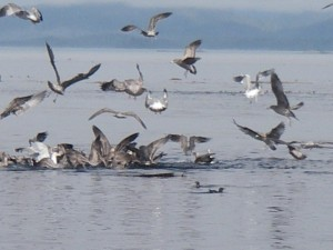 seagls feeding on herring