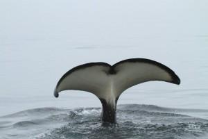 orca dive 3