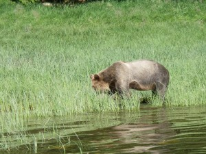 grizzlies grazing river sedge