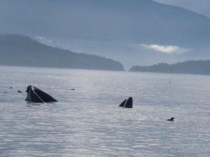 whale feding on herring