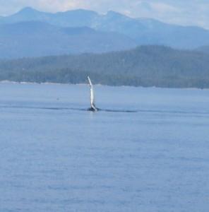 humpback pectoral fin