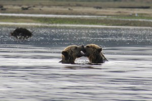 fighting grizzlies