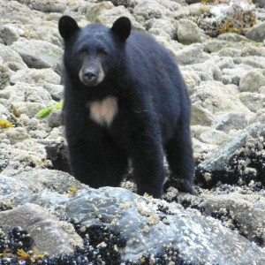 large black bear on bc beach