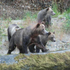 grizzly triplets third year
