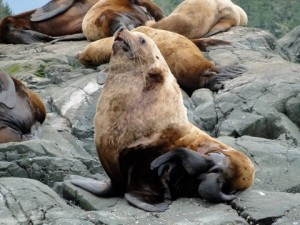 steler sea lions at haul out