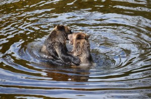 grizzlies fight in water